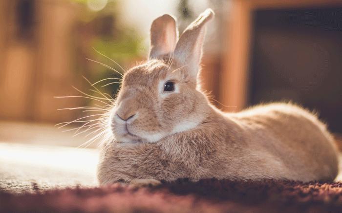 ペット(ウサギ)